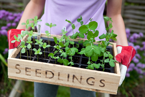 Seedlings/Saplings of flowering plants